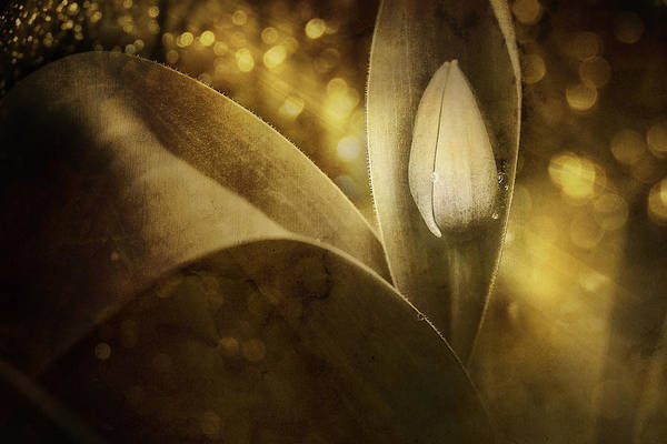 Tulip Art Print featuring the photograph The Unveiling 2 by Scott Norris