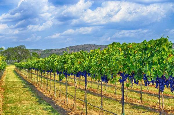 Wine Country Art Print featuring the photograph The Vineyard In Color by Kristina Deane
