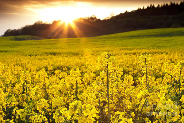 Yellow Print featuring the photograph The Yellow Rapeseed Field Beautiful by Boon Mee