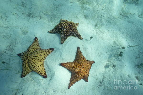 Abundance Art Print featuring the photograph Three Starfishes On Sandy Seabed by Sami Sarkis