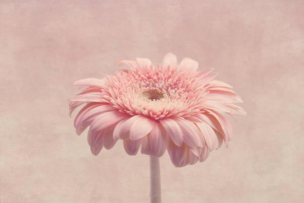 Pink Flower Art Print featuring the photograph Timeless by Kim Hojnacki