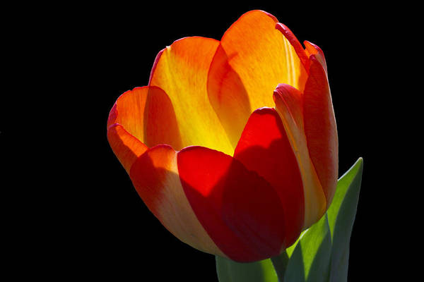 Tulip Art Print featuring the photograph Tippy by Doug Norkum