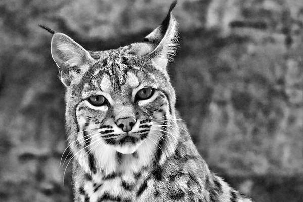 Bobcat Print featuring the photograph To Be Seen by Natasha Mohr