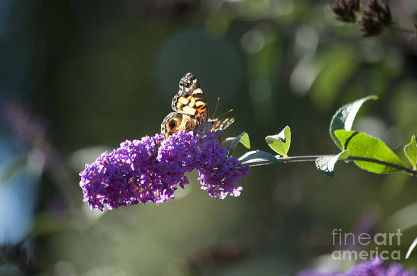 Butterfly Art Print featuring the photograph Touchdown by Affini Woodley