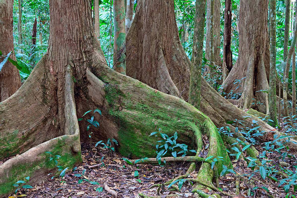 Roots Print featuring the photograph Tree Roots Tropical Rainforest by Dirk Ercken