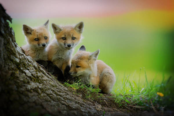 Fox Art Print featuring the photograph Trio Of Fox Kits by Everet Regal