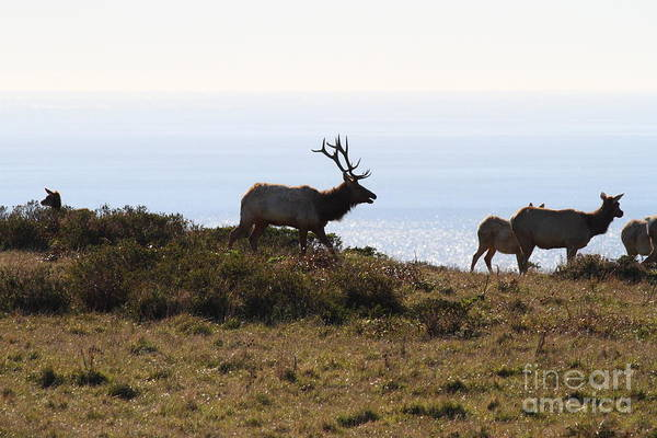 Bayarea Art Print featuring the photograph Tules Elks Of Tomales Bay California - 7d21230 by Wingsdomain Art and Photography