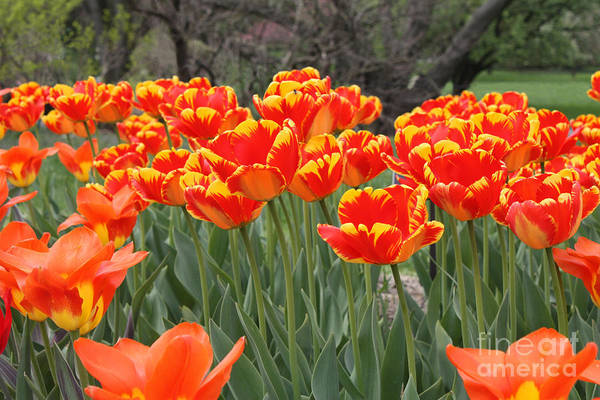 Tulips From Brooklyn Art Print featuring the photograph Tulips From Brooklyn by John Telfer