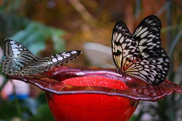 Nature Art Print featuring the photograph Two Butterflys by April Rouse