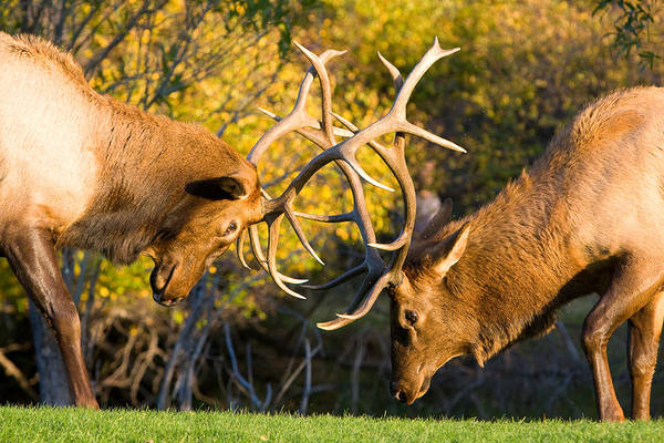 Autumn Art Print featuring the photograph Two Elk Bulls Sparring by James BO Insogna