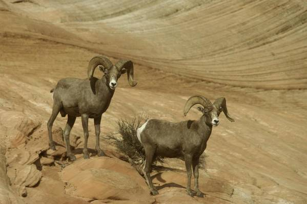 Horns Art Print featuring the photograph Two Male Rams At Zion by Jeff Swan