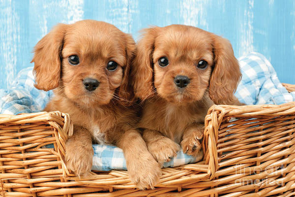Cavalier Art Print featuring the digital art Two Puppies In Woven Basket Dp709 by Greg Cuddiford