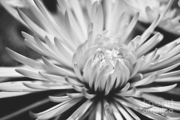 Flower Picture Print featuring the photograph Unfolding by Artist and Photographer Laura Wrede