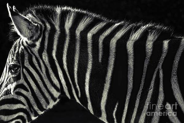 Zebra Art Print featuring the photograph Unique Similarity by Andrew Paranavitana