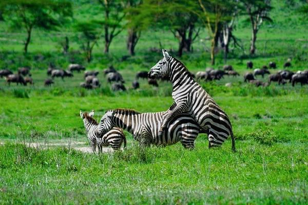 View Of Zebra Mating Art Print By Sabah Jabeen Eyeem