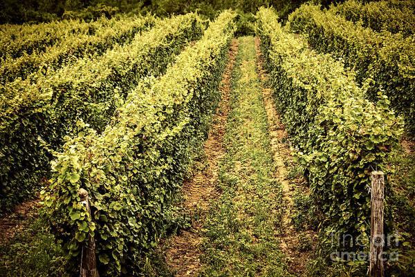 Vineyard Art Print featuring the photograph Vines Growing In Vineyard by Elena Elisseeva