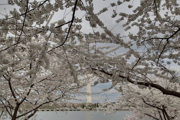 America Art Print featuring the photograph Washington Monument - Cherry Blossoms - Washington Dc - 011323 by DC Photographer
