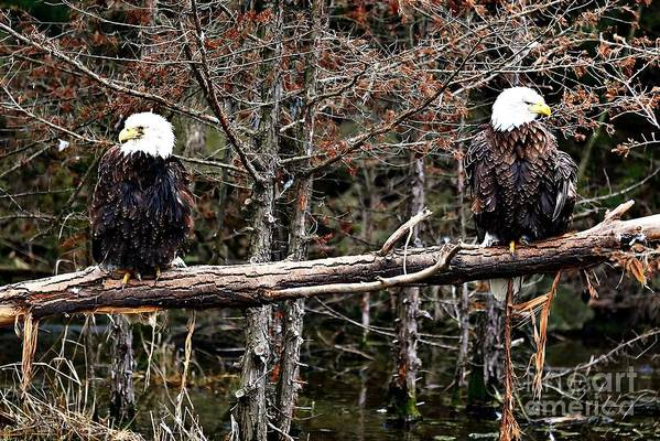 Bald Eagles Art Print featuring the photograph Watchful Eyes by Elizabeth Winter