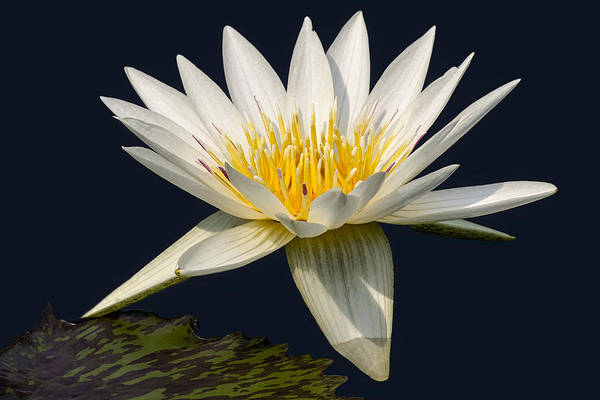 Leaves Art Print featuring the photograph Waterlily And Pad by Susan Candelario