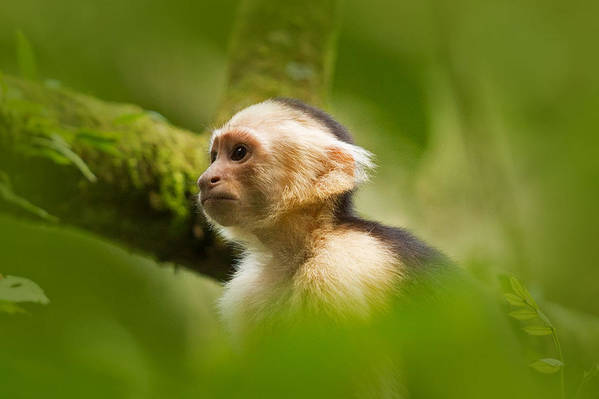 Capuchin Art Print featuring the photograph White Faced Capuchin Monkey Portrait by Natural Focal Point Photography