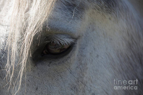 Animals Art Print featuring the photograph White Horse by Dan Hartford