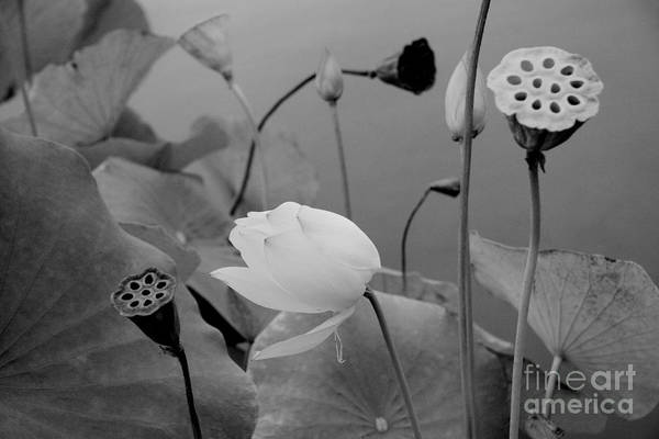 Nature Art Print featuring the photograph White Lotus Flowers In Balboa Park San Diego by Julia Hiebaum