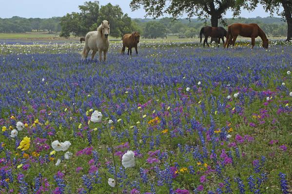 Texas Art Print featuring the photograph White On Blue by Susan Rovira