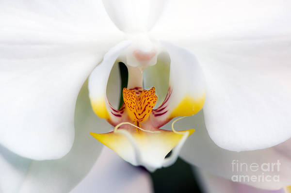 White Art Print featuring the photograph White Orchid by Eddie Yerkish