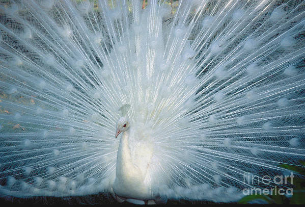 Bird Art Print featuring the photograph White Peacock. by Robert Kleppin