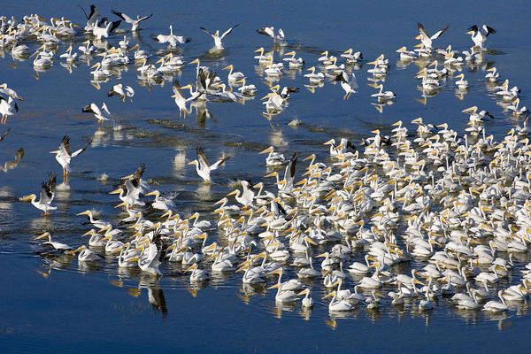 Pelicans Art Print featuring the photograph White Pelicans On Blue by Patrick M Lynch