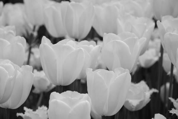 Tulip Art Print featuring the photograph White Tulips B/w by Jennifer Ancker