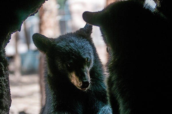 Bears Art Print featuring the photograph Who You Looking At by Rob Weisenbaugh