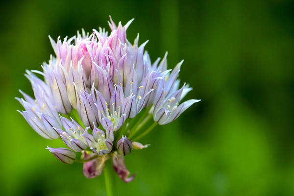 3scape Photos Art Print featuring the photograph Wild Blue - Chive Blossom by Adam Romanowicz
