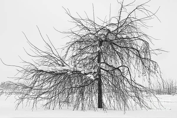 Tree Art Print featuring the photograph Wild Springtime Winter Tree Black And White by James BO Insogna