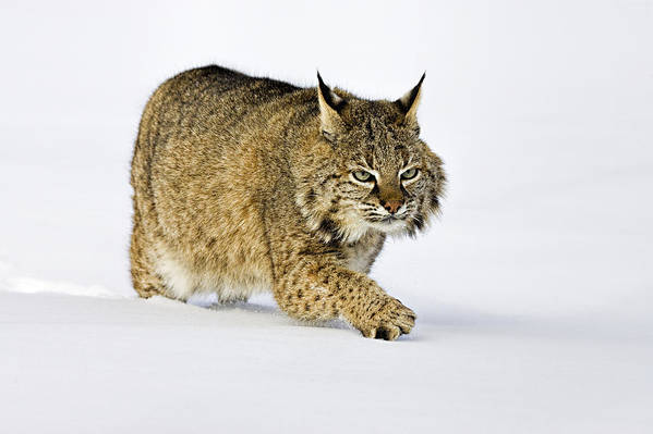 Bobcat Art Print featuring the photograph Winter Walk by Jack Milchanowski