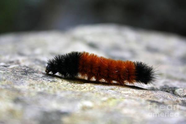 Woolly Bear Caterpillar Art Print featuring the photograph Woolly Bear by Kristy Ollis