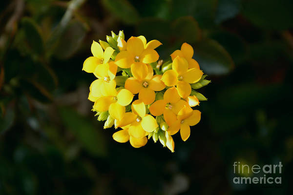 Yellow Flowers Art Print featuring the photograph Yellow Allegria by Ramona Matei