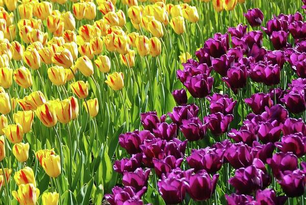 Yellow And Purple Tulips Art Print featuring the photograph Yellow And Purple Tulips by Allen Beatty