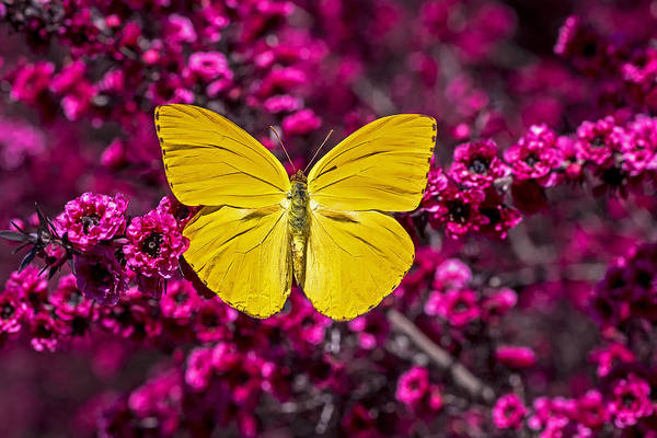 Evergreen Shrubs Art Print featuring the photograph Yellow Butterfly by Garry Gay