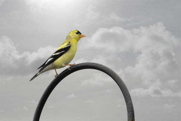Yellow Finch Art Print featuring the photograph Yellow Finch A Bright Spot Of Color by Christine Till