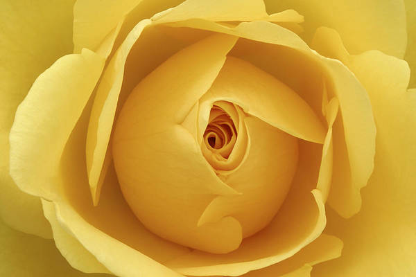 Rose Art Print featuring the photograph Yellow Rose by Natalie Kinnear