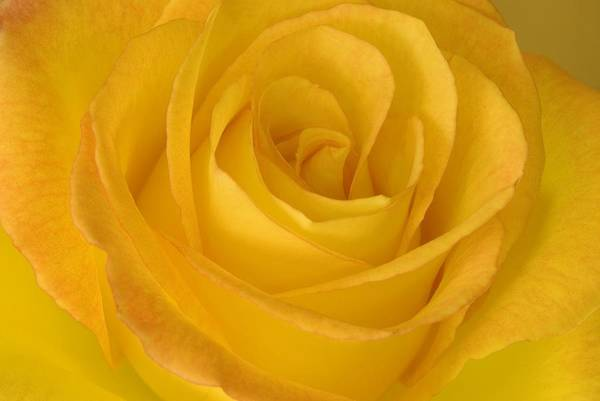 Blooming Art Print featuring the photograph Yellow Tea Rose by John Pitcher