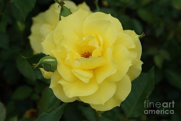 Yellow Art Print featuring the photograph Yellow Wonder Rose...  # by Rob Luzier