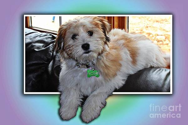 Yoshi Havanese Puppy Art Print featuring the photograph Yoshi Havanese Puppy by Barbara Griffin