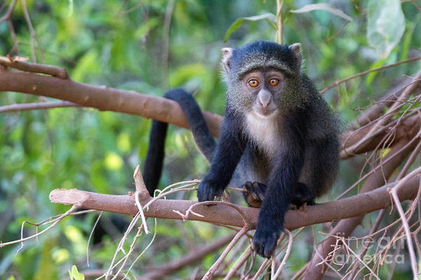 Monkeys Art Print featuring the photograph Young Blue Monkey by Chris Scroggins