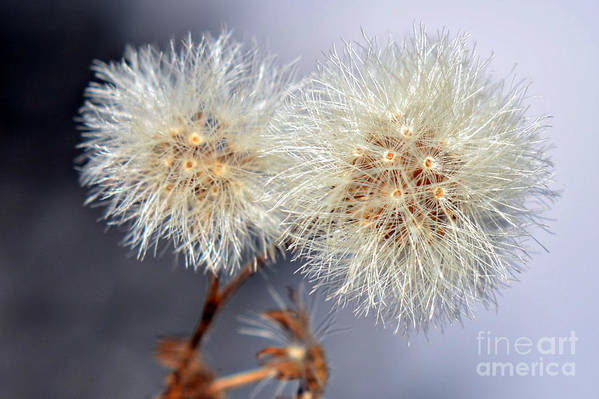 Weed Seeds Prints Art Print featuring the photograph Weed Seeds by Lila Fisher-Wenzel