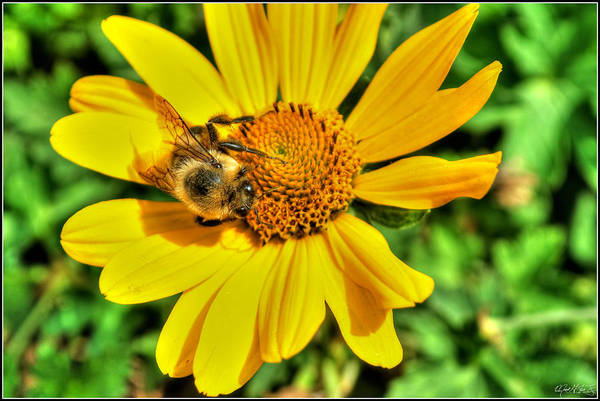 Art Print featuring the photograph 003 Busy Bee Series by Michael Frank Jr