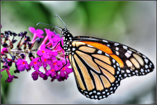 Art Print featuring the photograph 004 Making Things New Via The Butterfly Series by Michael Frank Jr