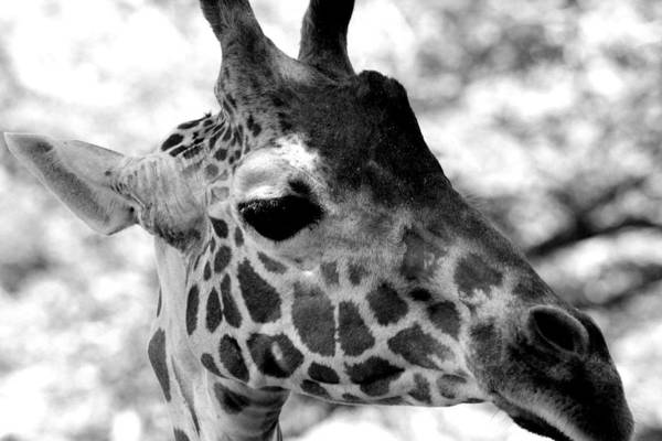 Giraffes Art Print featuring the photograph Abby In Bw 002 by Elizabeth Doran