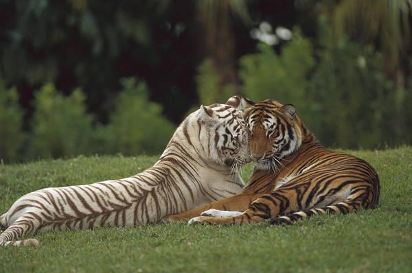 Mp Art Print featuring the photograph Bengal Tiger Panthera Tigris Tigris by Konrad Wothe